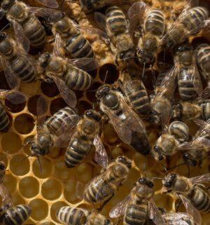 Carnica Bienenkönigin